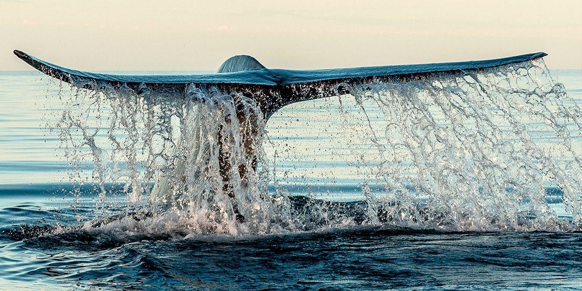 Ballena Azul Se Aproxima A Las Aguas Del Mar De Cortes